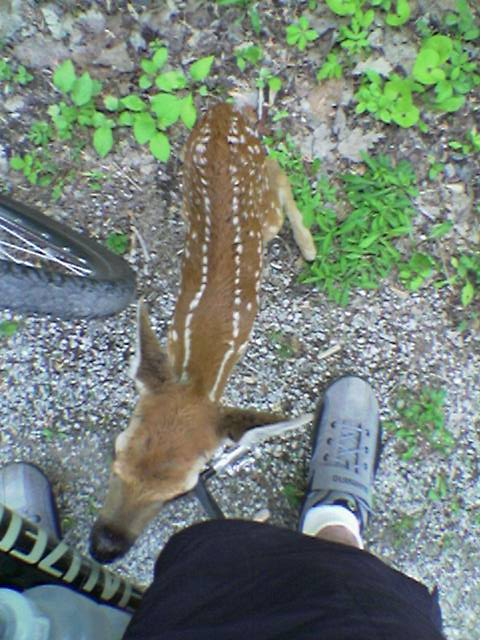 Along the Paint Creek Trail I noticed a small fawn at the edge of path. When I stopped it came out and sniffed me and my bike. It seemed very scared and lost / alone.